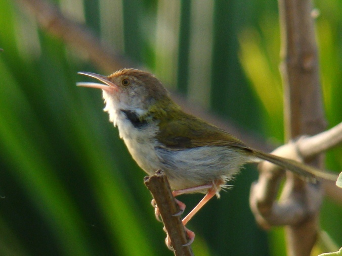 common_tailorbird